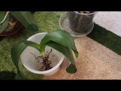 ЧУДО! ЯНТАРНАЯ КИСЛОТА СПАСАЕТ ОРХИДЕИ//Violetta - YouTube