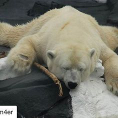 So sad....... #Repost @gm4er with @repostapp ・・・ Polar Bear Dies of a Broken Heart  While this is not an #elephant, #rhino, or #lion, we of the GMFER advocate for the Earth and all its inhabitants. We strive to educate the public regarding the sentience of those precious lives with whom we share a magnificent world. We must be aware that the animals have emotional lives. The choices that man makes regarding the Earth and the other beings have ripple effects. We DO share the globe with TRULY…