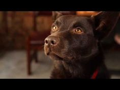 "Koko the kelpie ""Red Dog "" screen test. One of my favorite videos."