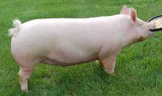 Hog Farm, Farm Yard, Large White Pig, Raza Yorkshire, Hampshire Pig, Micro Mini Pig, Hog Pig, Pig Breeds, Pig Images