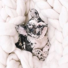 'design french bulldog' by Super Cute Puppies, Cute Baby Dogs, Cute Little Puppies, Cute Dogs And Puppies, Cute Little Animals, Cute Funny Animals, Doggies, Baby Animals Pictures, Cute Animal Pictures