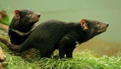 Dois diabos da Tasmânia de 14 meses de idade, no Devil Ark, no estado australiano de New South Wales, em 27 de abril de 2012. Leite de marsupiais poderia combater superbactérias (estudo)
