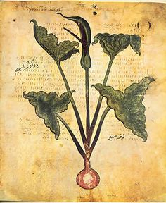 drakontaia arum, from the foundational De Materia Medica by Dioscorides. He provided the template for herbalism which influenced pretty much everyone for the next 2000 years. #arum