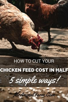Would you like to save money on chicken feed? Here are 5 simple ways to cut your chicken feed cost in half!