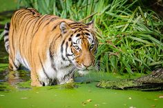 After a Half-Century, Tigers May Return to Kazakhstan  How do you bring tigers back to a region after decades of extinction? First you rebuild their ecosystem.