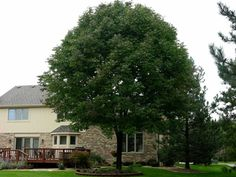 This is a beautiful white ash that was kept alive by treatments in a devastated neighborhood. https://www.facebook.com/emeraldtreecarellc/info
