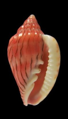 Glabella reeveana. Shells fascinate me; did you know that Edgar Allan Poe rewrote a book about shells, The Conchologist's First Book (published April 1839).? KA