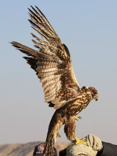 Falcon spreads its wings- how he described me. Confused me....I get it now. ;-)