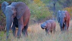 Evening light bathes a small herd of elephants as they approach a small pan. Photograph by Anthony Goldman