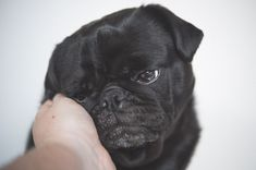 You have already read 5 of my 10 things to love about pugs and now here is the other 5. Did I miss anything? Check it out here >>> http://www.thepugdiary.com/top-10-things-to-love-about-pugs-part-two/