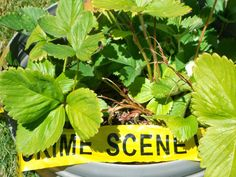 Artistry of Education: The Case of the Stolen Strawberries -- photo writing prompt with free printable police report form