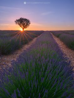 Lavender with lonely treeat sunset. Provence, France.