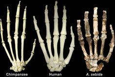 Hand skeleton comparison - Chimpanzee (left), Human (middle) & Australopithecus sediba (right)