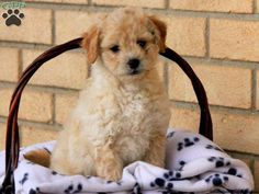 Pekingese puppies for sale! These fun-loving, affectionate Pekingese puppies do well with children and other pets. They are definitely lovable lapdogs. Pekingese Puppies For Sale, Greenfield Puppies, Lap Dogs, Pets, Fun, Animals, Animales, Animaux, Animal