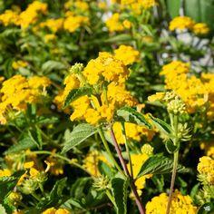 Lantana — Green Acres Nursery & Supply Green Thumb, Plants, Lantana, Showy Flowers, How To Attract Birds, How To Attract Hummingbirds, Perennials, Lantana Plant, Landscape