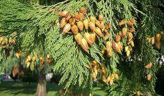 देवदार (Cedar) परिचय गुण तथा आयुर्वेदिक उपयोग Key, Health, Flowers, Plants, Unique Key, Health Care, Plant, Royal Icing Flowers, Flower