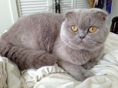 Scottish Fold named Rosie - She is lilac