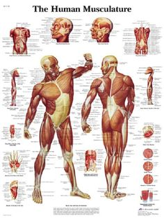 human musculoskeletal system diagram | massage documents and, Muscles