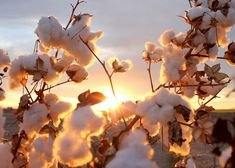 Cotton plant in the sunset photo & image Nature Images, Nature Pictures, Phone Wallpapers, Wallpaper Backgrounds, Cotton Plant, Spring Wallpaper, Cotton Fields, Still Life Photos, Film Inspiration
