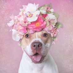 Blossom (available for adoption), Pit Bull Flower Power, by Sophie Gamand. Haha!