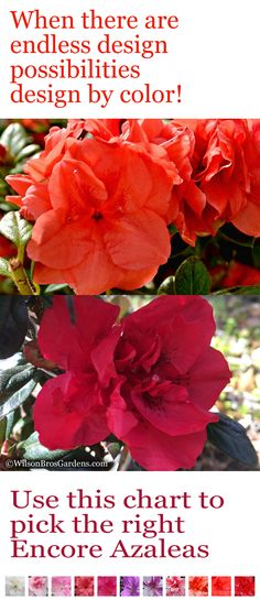 Encore Azaleas are unique in that they bloom in spring and again in summer and fall. If you are looking to buy Encore Azaleas online, Wilson Bros Gardens ships all 30 varieties. All of our Encore Azaleas are very healthy, fully-rooted, container grown plants at very reasonable prices, which are ready upon arrival to plant and thrive for years to come in your landscape and gardens - GUARANTEED!