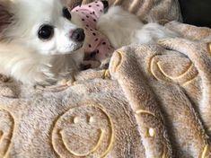 🐶 . . おはようみんな 〜 😪☀️ 今日も一日頑張ってね 😌💞 . .  #chiroru #chihuahua #dog #mypet #family #love #perro #white #instagood #dogstagram #l4l #cutedog #camera #カメラ #チワワ #ロングコート #チロル #家族 #ペット #親バカ部 #チワワ部 #チワワ #チワワのいる生活 #愛犬 #わんすたぐらむ #ふわもこ部 #ニコちゃん #お洋服 #ドット #ピンク