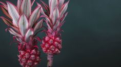 Pink Pineapple, WHAT!?!?!
