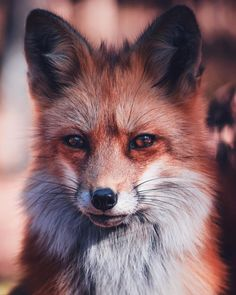 """# #postmorefoxportraits #zachmoveswest #northernarizona #southwestisbest #wildlife #streetdreamsmag"""