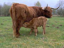 Schotse hooglander (rund) -