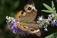 Common Buckeye butterfly (Junonia coenia). Buckeye Butterfly, Insects, Park, Nature, Animals, Animales, Animaux, Parks, Naturaleza