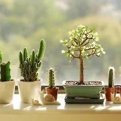 Bonsais and Cactus