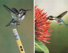 bee-hummingbird, weighs in at a mere 1.8 grams and reaches a length of about 2 inches. The human retina can't even detect the rapid 80-beats-per-second movement of this extremely small creature's wings, and it's easy to mistake it for an insect if you're not looking carefully at it. Its nest is smaller than a doll's teacup and its eggs are smaller than coffee beans.