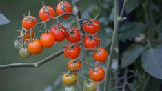 Garden Growing Marigolds, Canning Tomatoes, Garden, Plants, Pickled Tomatoes, Garten, Lawn And Garden, Gardens, Plant
