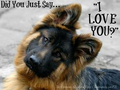 "That classic German Shepherd Head Tilt! We all love to see it.   And the BEST time to get it from our dogs, is when we whisper ""I Love You"" to them! ♥"