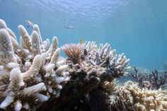 Bleaching May Have Killed Half the Coral on the Northern Great Barrier Reef, Scientists Say - The New York Times