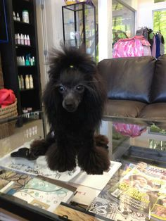 Blue caniche teacup poodle