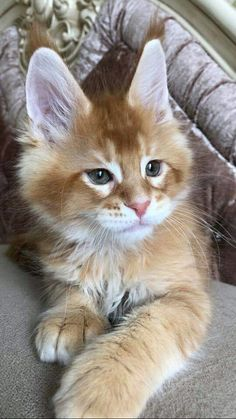 🔥Available male Country Gulliver's Leo Best Ivory SharmMuar All parents ' tests are negative Pretty Cats, Beautiful Cats, Animals Beautiful, Puppies And Kitties, Cute Puppies, Cats And Kittens, I Love Cats, Crazy Cats, Cute Cats