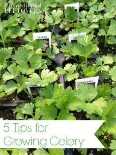 5 Tips for Growing Celery - These tips will help you successfully grow celery in your vegetable garden this summer.
