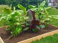 de jeunes bananiers à planter dans un parterre surélevé dans le jardin