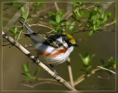 pictures of hummingbirds and warblers | Hummingbirds, Orioles and Warblers Invade Maine — Birding in Maine