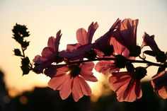 Download this free photo here www.picmelon.com #freestockphoto #freephoto #freebie /// Red Flowers at Sunset | picmelon