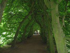 Grünes Gewölbe - Ein Hainbuchenhecke am Schloss Landestrost, Neustadt am Rübenberge