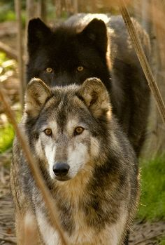 Wolves  Met one of these on a path in the woods when I was kid. Huge and beautiful. I backed into the woods and it looked at me and just kept walking along the path. An amazing experience. One I will never forget.