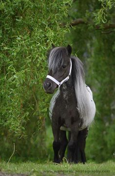 CUTE Minnie  THE MINIATURE HORSE MAKES A GREAT PET. http://www.bubblews.com/news/703482-the-miniature-horse-makes-a-great-pet