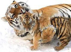 Tigre de bengala - Animales en peligro de extincion saveplanet604