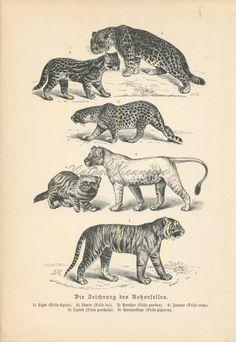 Vintage #bigcats #Bigcatart print | #Catmarkings | #Lion print | #Tiger print | J#aguar print | #Felinology | #catlovers  #vintagedecor #antiqueprints 1893 Lion Print, Cat Art Print, Female Lion, Big Cats Art, Animal Art Prints, Antique Prints, Old Antiques, Decoration, Jaguar