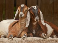Nubian goats-our Sasha and Tasha. I will always remember you.