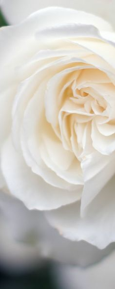 White Rose / is so alive, it isn't content being quite 'only' white. . .