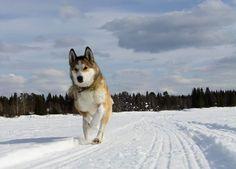 Kelet-szibériai Laika: karakter, egészség, a történelem és a fajta standard (+ fotók)