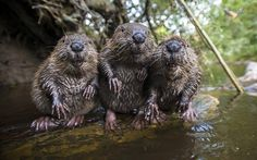 A husband and wife photography team are now so friendly with a family of wild beavers they let them take their portrait. Bettina and Christian Kutschenreiter have spent 10 years making regular visits to the beavers after they interrupted them taking pictures of kingfishers near the city of Rosenheim near Munich, Germany. And now they are able to get up close and personal as the animals recognize their voices when they come to visit.